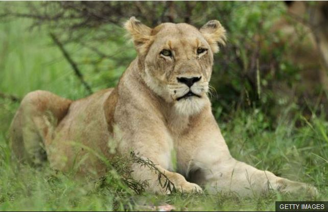 A lioness on the loose injures three people in Djibouti